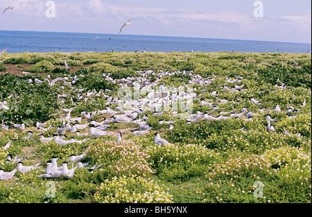 Sandwich Terns - colony on meadow / Sterna sandvicensis - Stock Photo