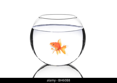 Golden fish in a bowl isolated on white background - Stock Photo