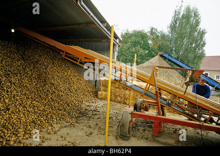 SORTING AND STORING POTATOES AT THE FARM AFTER THE HARVEST, NORTHERN FRANCE - Stock Photo