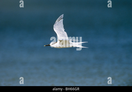 Sandwich Tern - flying / Sterna sandvicensis - Stock Photo