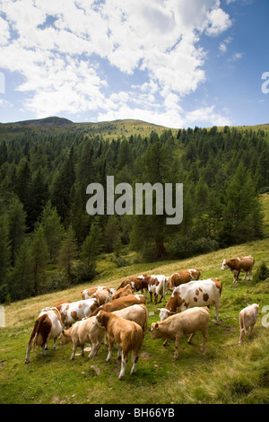 cows on mountain pasture - Stock Photo