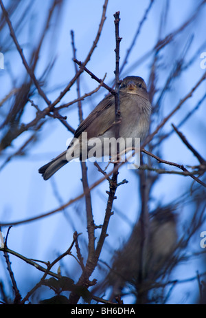 House sparrow Passer domesticus Single Juvenile perching in a tree Pembrokeshire, Wales - Stock Photo
