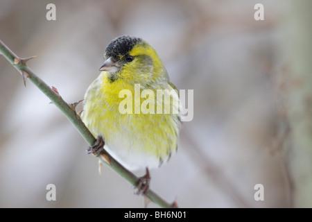 Male Eurasian Siskin in winter - Stock Photo