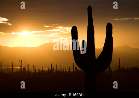 Saguaro cactus silhouetted at sunset in Tucson Arizona in Saguaro West National Park. - Stock Photo