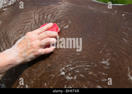 Photo of horse hide being scrubbed with tool during horse bath. - Stock Photo