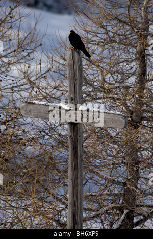 Alpine Chough sitting on top of year dated wooden cross with dusting of snow on it - Stock Photo