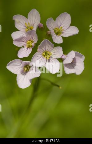 Cuckoo flower or lady´s smock (Cardamine pratensis) - Stock Photo