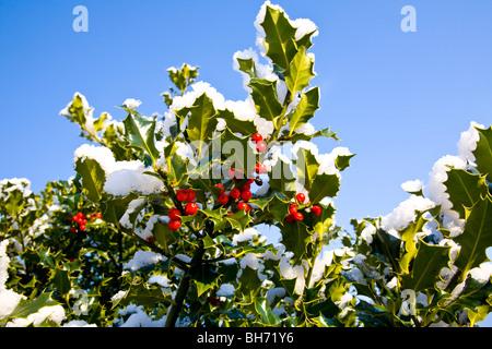 Christmas holly under snow
