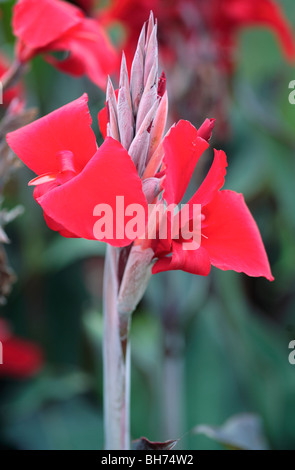 Canna Lily - Stock Photo