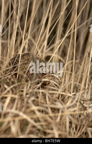 Common toad, Bufo bufo mating pair in Amplexus on way to breeding pond, Allerthorpe Common, East Yorkshire, UK - Stock Photo