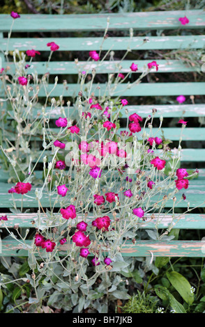 Sweet William Flower and Bench - Stock Photo