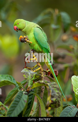 RING-NECKED or ROSE-RINGED PARAKEET (Psittacula krameri) eating Common Medlar fruit (Mespilus germanica). - Stock Photo