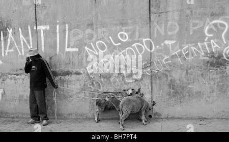 Ecuador, Otavalo, view of a local man standing against wall with white graffitis holding two white sheeps tied up - Stock Photo
