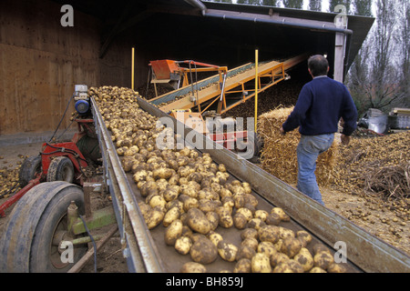 GATHERING AND SORTING POTATOES BEFORE STORING, PAS-DE-CALAIS, FRANCE - Stock Photo