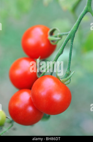 TOMATOES GROWING ON VINE - Stock Photo