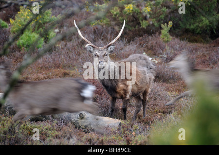 Sika stag - Stock Photo