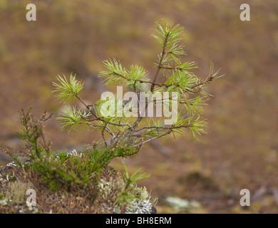 Scots pine sapling - Stock Photo