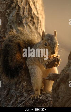Eastern fox squirrel (Sciurus niger) - Stock Photo