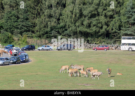 Tourists watching animals  from their cars during 'safari' trip in Serengeti Park in Hodenhagen, Germany - Stock Photo
