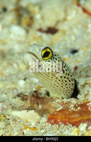 Spotted Garden Eel, Heteroconger hassi, Ari Atoll, Indian Ocean, Maldives - Stock Photo