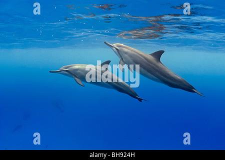 Hawaiian Spinner Dolphins, Stenella longirostris, Big Island, Kona Coast, Hawaii, USA