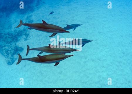 Hawaiian Spinner Dolphins, Stenella longirostris, Big Island, Kona Coast, Hawaii, USA - Stock Photo