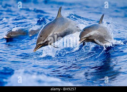 Pantropical Spotted Dolphins, Stenella attenuata, Big Island, Kona Coast, Hawaii, USA - Stock Photo