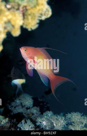 Jewel Fairy Bassler, Pseudanthias squamipinnis, Red Sea, Egypt - Stock Photo