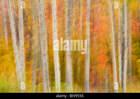 Maple in fall colour among aspen tree trunks (camera movement), Greater Sudbury, Ontario, Canada - Stock Photo