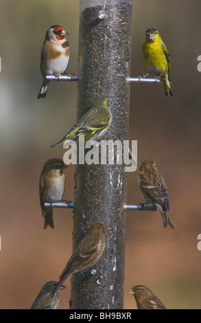 Well-used bird feeder! Niger seed feeder visited by Siskins, Redpolls and Goldfinch. New Forest, Hampshire - Stock Photo