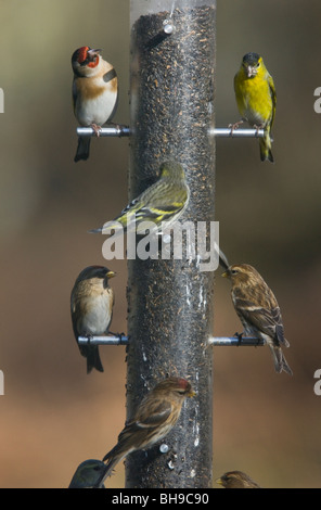 Well-used bird feeder! Niger seed feeder visited by Siskins, Redpolls, and Goldfinch. New Forest, Hampshire - Stock Photo