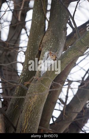 Eastern Gray Squirrel Sciurus carolinensis Single adult in a tree Gosport, Hampshire - Stock Photo