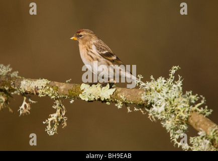 Male Redpoll Carduelis flammea in spring, perched on lichen-covered branch. New Forest. - Stock Photo