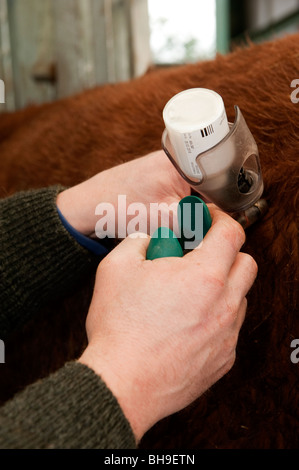 Farmer vaccinating a cow against BVD - Stock Photo