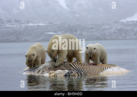 Polar Bear Ursus maritimus three standing feeding on a floating fin whale carcass with a reflection in the water - Stock Photo