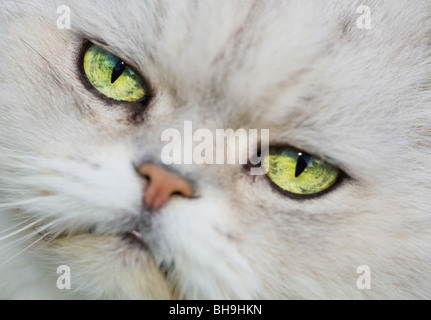 The Face of a White Persian Chinchilla Cat - Stock Photo