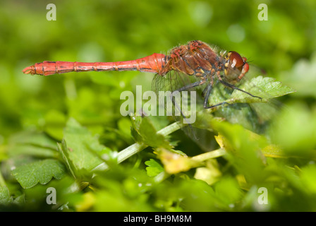 Male ruddy darter (Sympetrum sanguineum) - Stock Photo