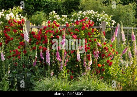 Climbing rose (Rosa Gruß an Heidelberg) and common foxglove (Digitalis purpurea) - Stock Photo