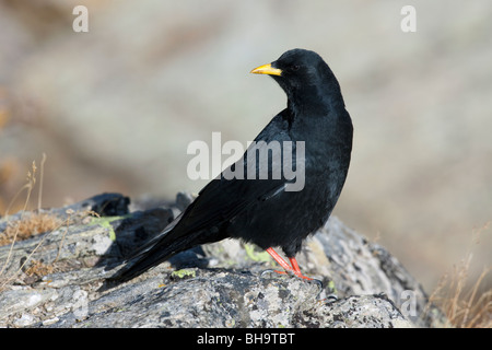 Alpine chough / Yellow-billed chough (Pyrrhocorax graculus) perched on rock, Gran Paradiso NP, Italy - Stock Photo