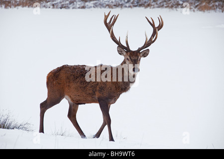 Red deer (Cervus elaphus) stag in the snow in winter, Germany - Stock Photo