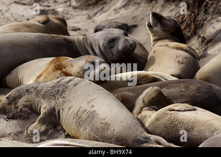 northern elephant seals Año Nuevo State Park California - Stock Photo