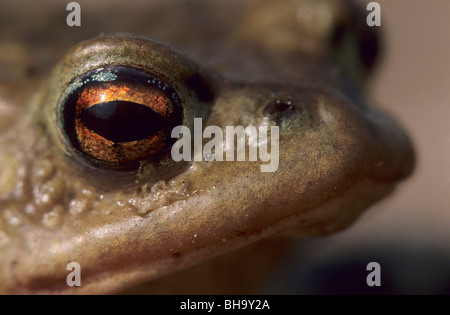 Common Toad, bufo bufo, Germany; European Toad - Stock Photo
