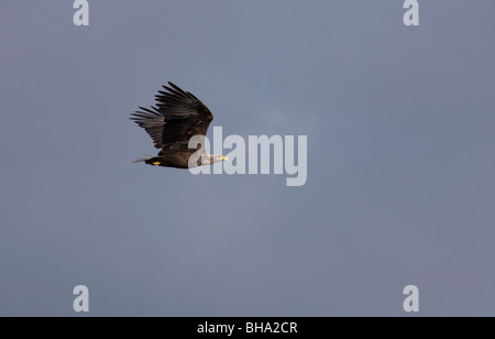 White-tailed eagle (Haliaeetus albicilla), adult bird in flight, Germany - Stock Photo