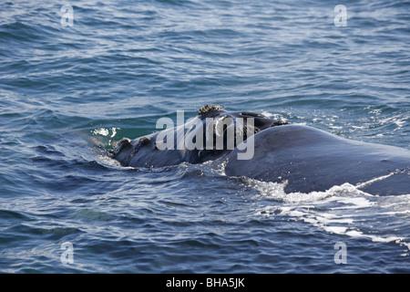 Southern Right Whale, Eubalaena australis - Stock Photo