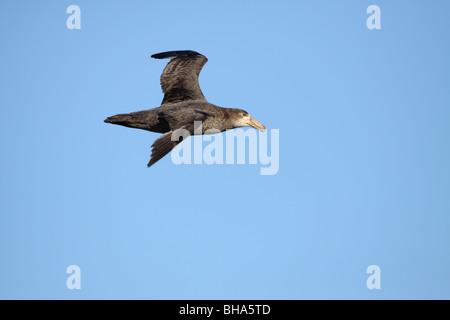 Southern Giant Petrel, Macronectes giganteus in flight at coastal Valdes Peninsula - Stock Photo