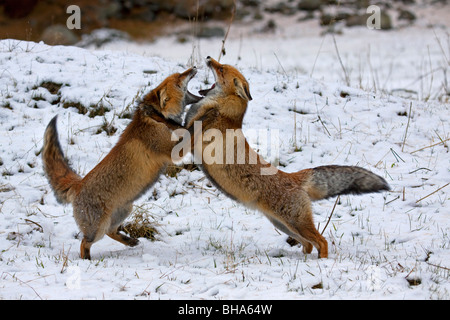 Two Red foxes (Vulpes vulpes) fighting in the snow in winter - Stock Photo