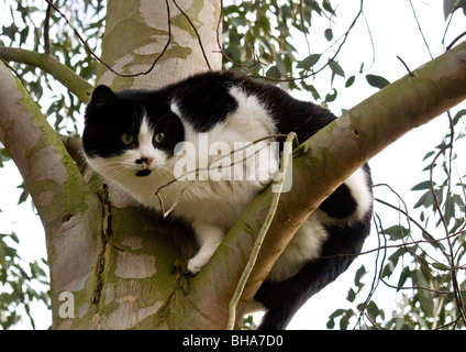 One handsome black and white cat sitting on a branch of eucalyptus tree eagerly looking for prey with  instinct - Stock Photo