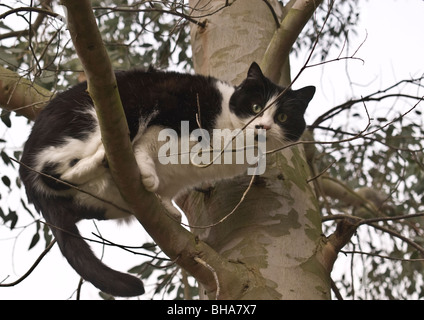 A black and white cat sitting on a branch of eucalyptus tree looking at camera prepared to jump if disturbed from - Stock Photo
