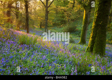 dawn in the bluebell woods at Batcombe, Dorset, England, UK - Stock Photo