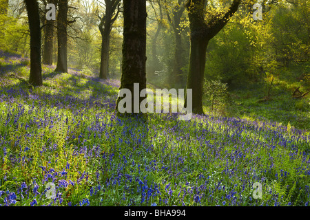 bluebells in the woods at Batcombe, Dorset, England, UK - Stock Photo